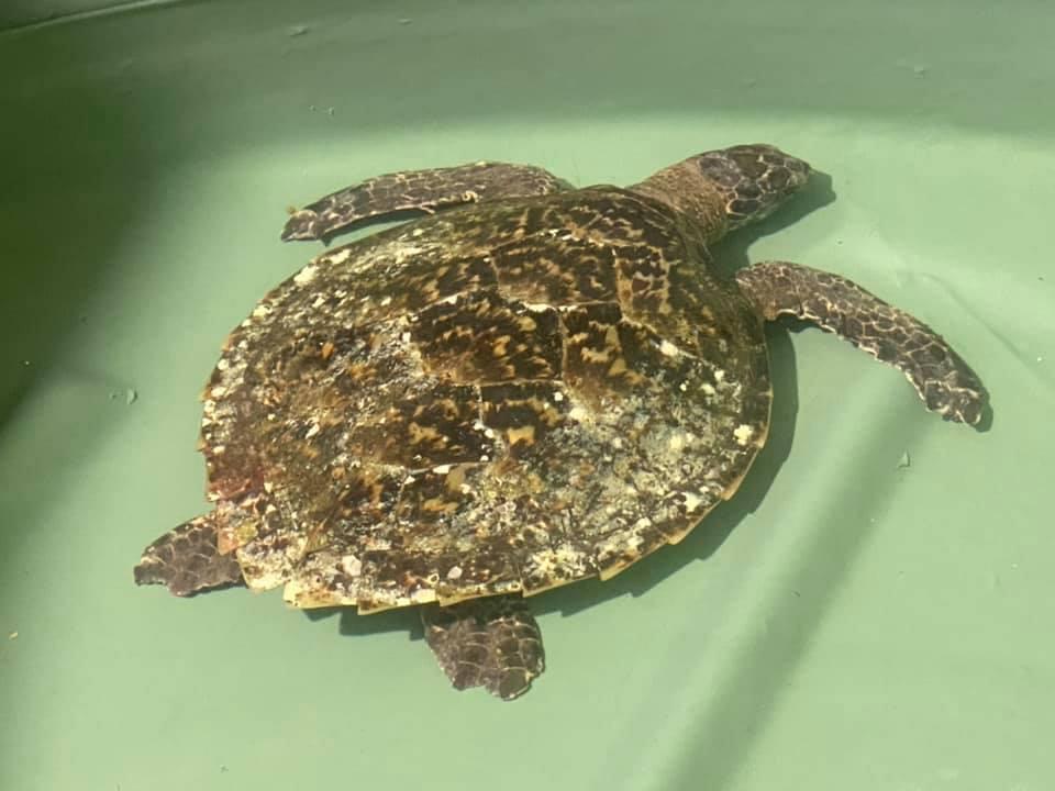 Turtle rescue Port Stephens