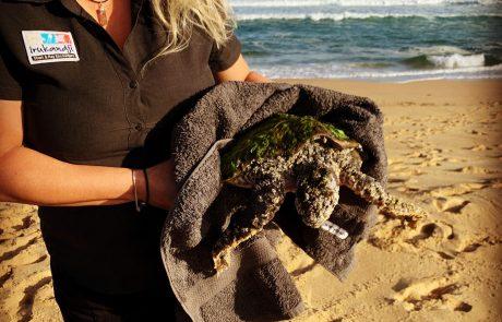 sea turtle port stephens