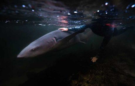 Staff with tawny nurse shark at Irukandji Shark & Ray Encounters Anna Bay