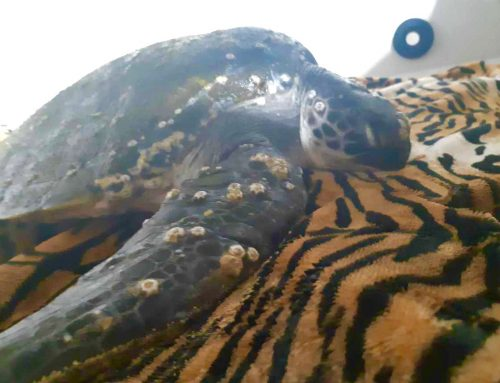 Sea Turtle Rescuing in Port Stephens