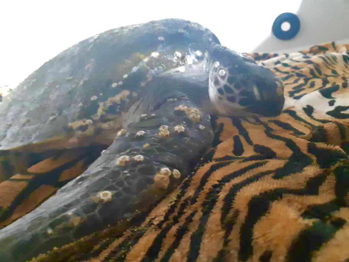 Sea turtles port stephens