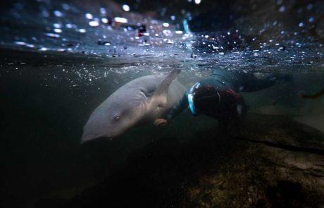 keeper and tawny nurse shark