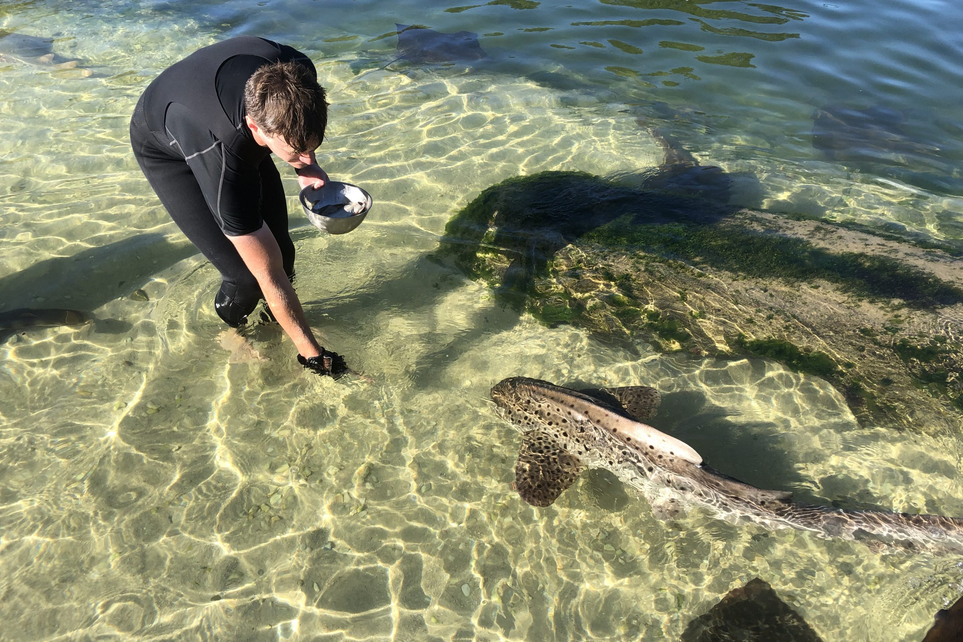 Feeding zebra sharks