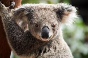 Oakvale Farm Koala